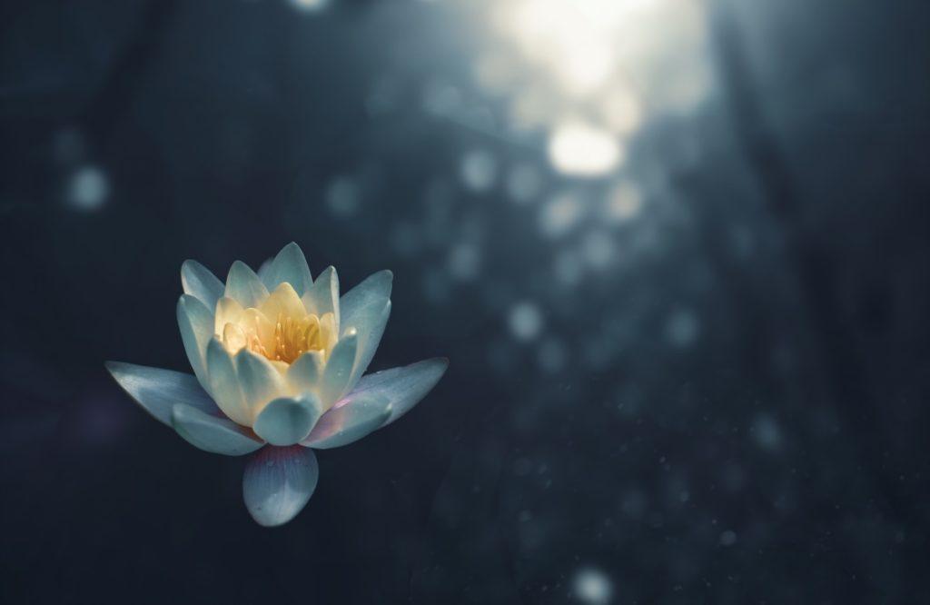 Красота раскрывшегося множеством лепестков лотоса, одного из главных духовных символов