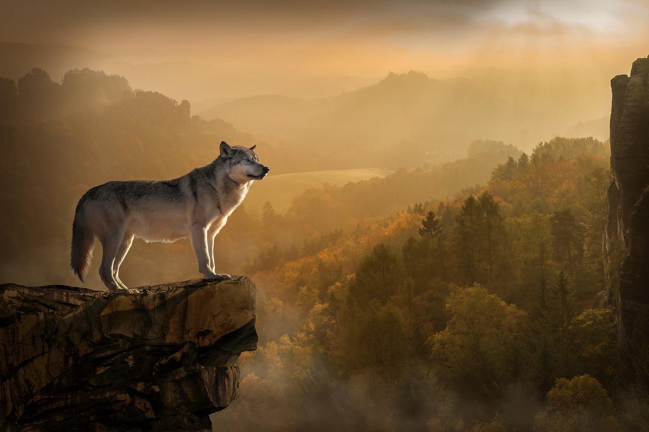Волк, стоящий в одиночестве на краю скалы