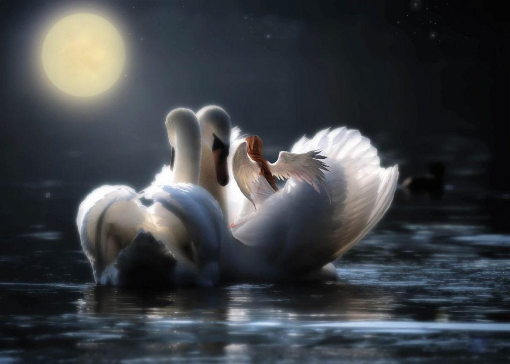 Единение двух лебедей на фоне яркой Луны